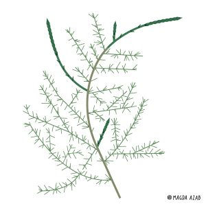 Foraging plant of the month – March: Asparagus