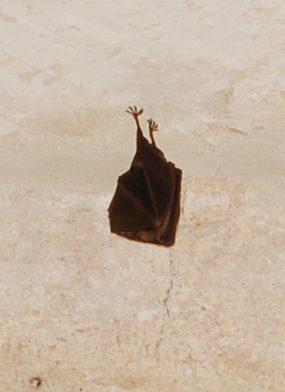 Atlas of Maltese Mammals Project – Bats