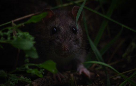 Atlas of Maltese Mammals Project- Rats