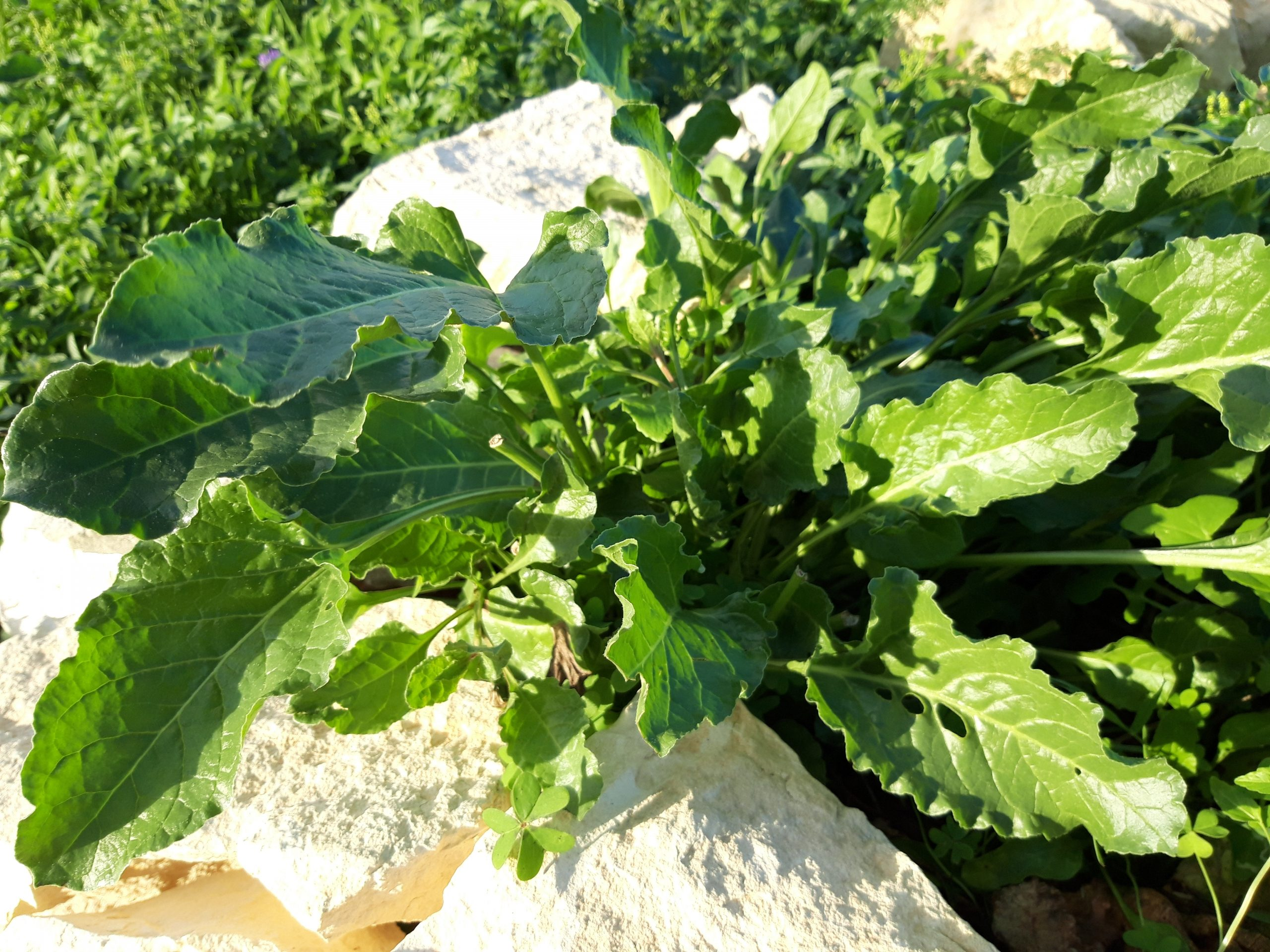 Sea Beet growing wild at our Community Garden