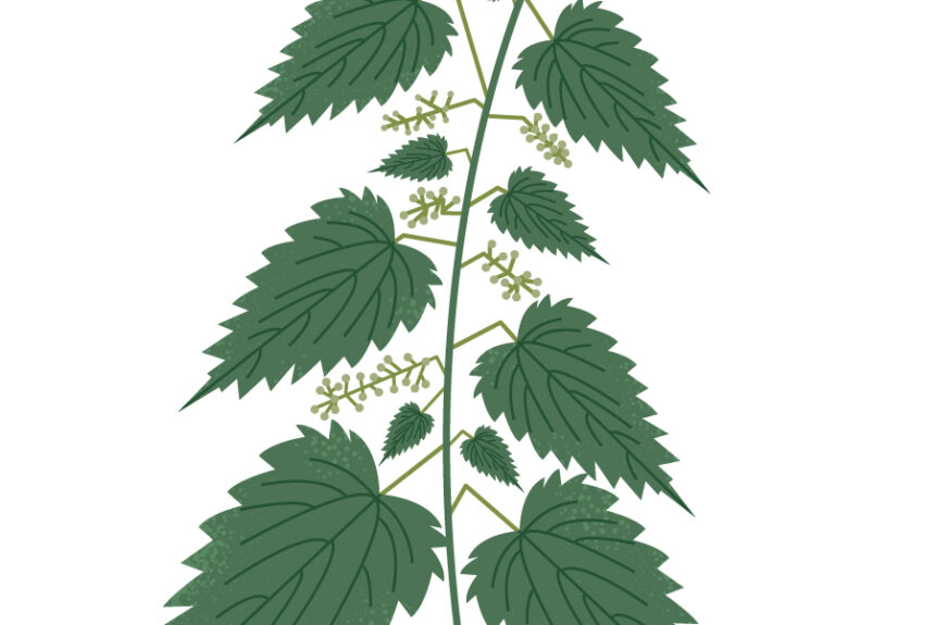 Foraging plant of the month – February: Nettle