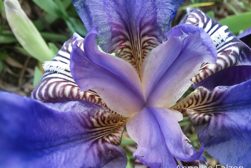 Flower of the month – February : Southern Dwarf Iris