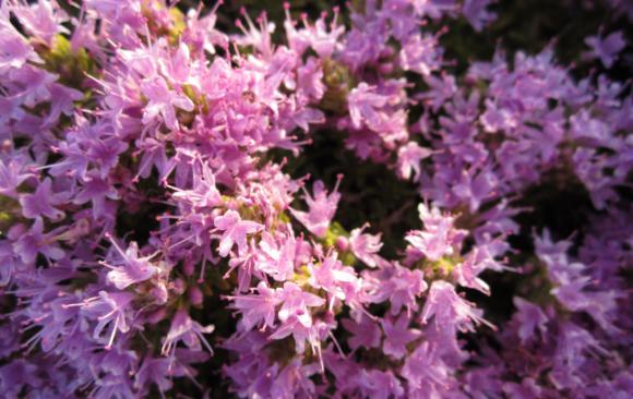 June Flower of the Month: Mediterranean Thyme