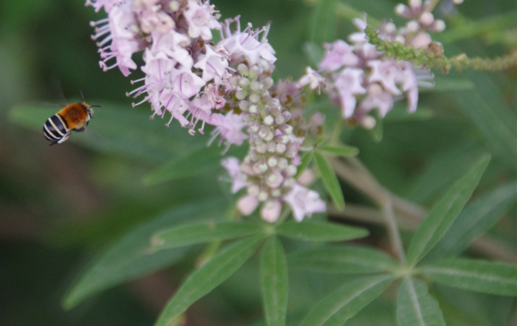 July Flower of the Month: The Chaste Tree (MT: Siġra tal-Virgi)