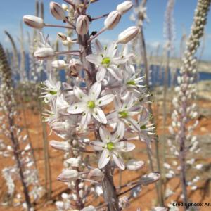 August Flower of the Month:  Sea Squill (MT: Basal tal-Għansar) Drimia maritima