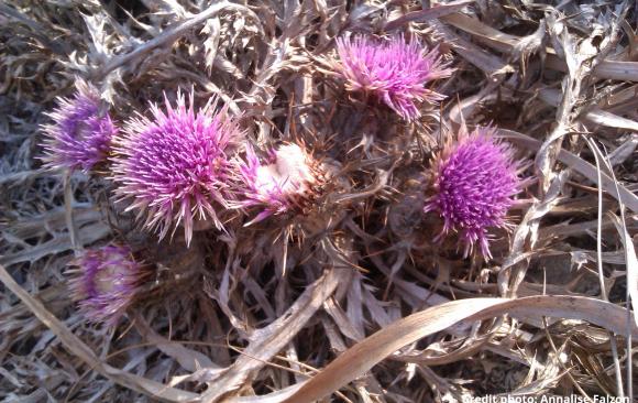 September Flower of the Month:  Ground Thistle  (MT: Xewk tal-Mixta) Atractylis gummifera