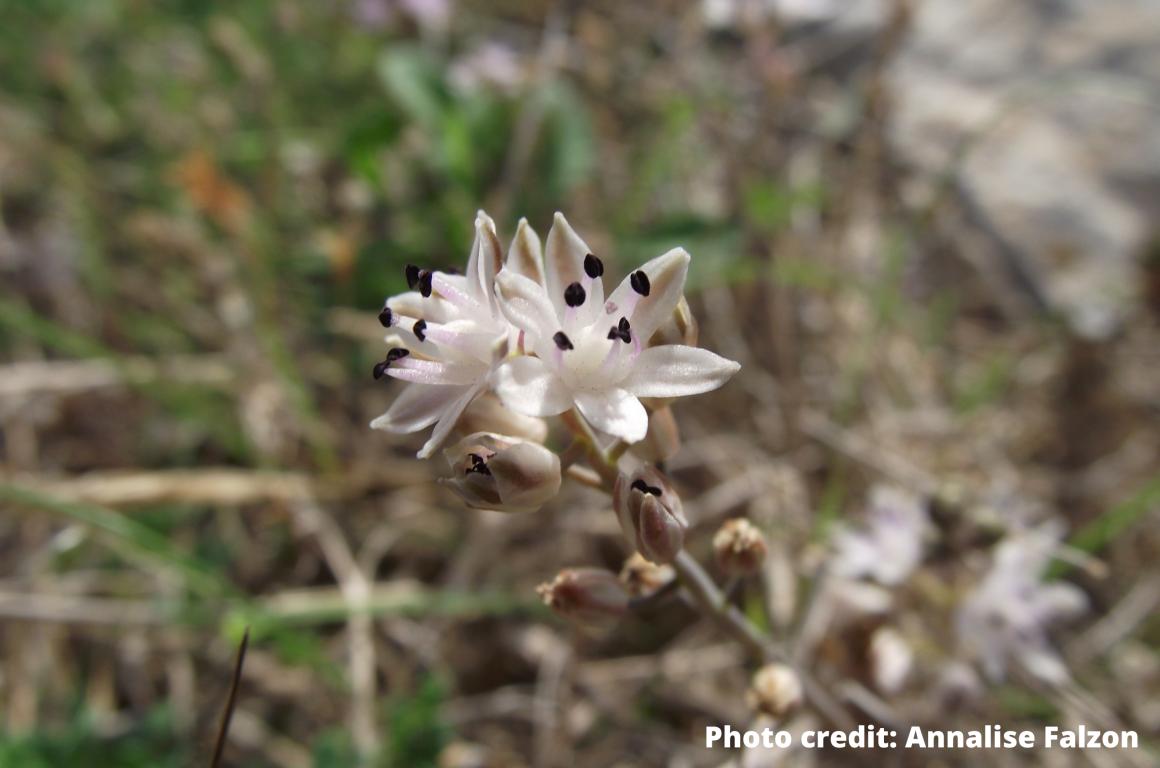 October Flower of the Month: Autumn Squill (MT: Għansar tal-Ħarifa) Prospero autumnale